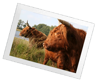 Highland Cows in Scotland